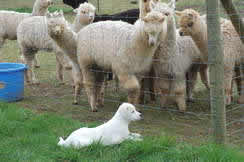 alpaca herd and puppy